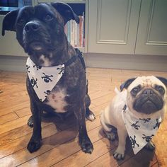 So it's a good night from me & a good night from Brian in our 'badass' bandanas says Mabel.. Hope they don't give you nightmares..  #goodnight #thursday #weeklyfluff #pugbasement #feature_do2#dogsofinstagram #pugmob #pugnation #zerozeropug #puglove #smilingpugs #pugrequest #flatnosedogsociety #TheTomCoteShow #pugsandkisses #puglife #insta_dogs #sendadogphoto #Beoncanadianpugs #pug #lacyandpaws #speakpug #pugsofinstagram #pugs #pugsproud_feature #dogs #pugsloversclub #cutepugsonly #cutepugs…