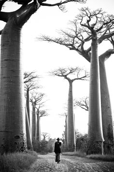 "Baobab Trees | ""And this is what happened, ands this is why the caribou and the wolf are one; for the caribou feeds the wolf, but it is the wolf that keeps the caribou strong.""   ― Farley Mowat"