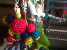 Rocco enjoying his Molly Balls! Submitted by Erin Parakeets, Parrots, Bird Toys, Balls, Feather, Wings, Christmas Ornaments, Pets, Holiday Decor