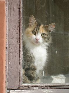 Looks almost exactly like my calico cat Pretty Cats, Beautiful Cats, Animals Beautiful, Cute Animals, Pretty Kitty, Beautiful Things, Cool Cats, I Love Cats, Crazy Cat Lady