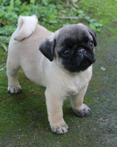 Cute Pug Puppy … on the way toward true pugnificence ♥ - Sweet Pugs Cute Pug Puppies, Dogs And Puppies, Puggle Puppies, Retriever Puppies, Terrier Puppies, Puppys, Boston Terrier, Pet Dogs, Dog Cat