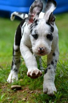 Beautiful Dane pup