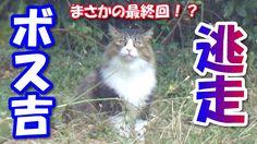 Video ボス猫、ハーネスを脱ぎ捨て逃走する! Boss cat ran away