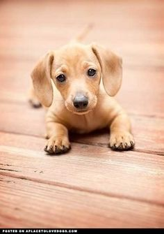 We love daschunds...:D  But I bet you didn't know they're the number one most likely breed to bite -learned in my Animals and their humans class....Go College Knowledge!)
