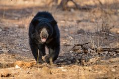 Sloth bear - A rare sighting of the sloth bear. This odd one didnt scoot at the sight of the safari vehicle and kept walking and foraging for ants and worms as it walked right past us.