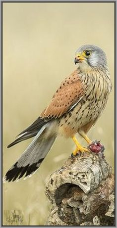 Kestrel / Faucon crécerelle #photo by Gladys Klip on flickr.com