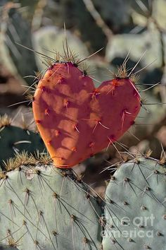 Valentine Prickly Pear Cactus by Henry Kowalski Heart In Nature, Heart Art, Cactus Photography, Nature Photography, Cacti And Succulents, Cactus Plants, Flowers Nature, Beautiful Flowers, Country Backgrounds