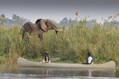 There is something about watching #elephants  in the water - Chobe in Botswana is well known for this...but I think the #lowerzambezi in #zambia is hard to beat ....especially from this viewpoint in your canoe .....with Baines River Camp  from Baines River Camp #fernweh #reisefieber #reiselust