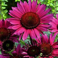 Echinacea Vintage Wine   Echinacea purpurea