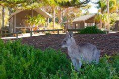 Murramarang Beachfront Nature Resort: Friendly kangaroos NSW South Coast #Australia http://www.tripadvisor.com.au/ShowForum-g255058-i121-New_South_Wales.html