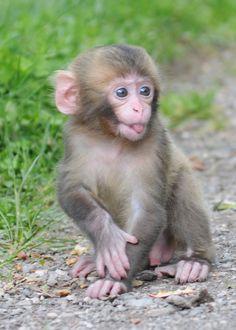 Funny Animal Photos, Cute Funny Animals, Cute Baby Animals, Animals And Pets, Monkey Art, Pet Monkey, Primates, Pygmy Marmoset, Puppies
