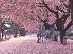 The Kwanzan cherry tree is one of the showiest of all Japanese trees. The blooms of Kwanzan cherry trees are large pink doubles. The blooming period of this wonderful tree is longe Japan Cherry Blossom Festival, Cherry Blossom Season, Sakura Cherry Blossom, Cherry Blossoms, Kwanzan Cherry, Japanese Tree, Japanese Blossom, Japan Holidays, Aomori