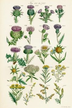 Page Of Colour Illustrations From British Wild Flowers After A Work By J.E. Sowerby And C.P. Johnson. Poster Print (24 x 38)