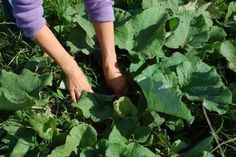 Burdock. We consider this stuff to be a weed on our farm. Harvesting a tasty plant and controlling weeds at the same time? Yes, please.