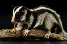 The Biak glider is a small marsupial from the Schouten Islands, Indonesia