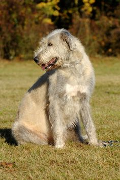 Irish Wolfhound.....This reminds me of my dog Mr Joey who passed away in 2003 from Cancer.