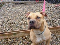 Petfinder Adoptable Dog | Pit Bull Terrier | Berea, OH | Simba