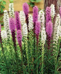 """Liatris Spicata. Butterflies love them!  Valued for their long blooming 4-5 foot vertical spikes. Rosy rich purple and pure pristine white flowers will give you weeks of enjoyment either in the garden or as a cut flower. The flowers emerge from glossy stems covered with a dark green grass-like foliage. Great for tall borders and for mixed bouquets. Plant them 6-8"""" apart. Bloom August-September."""