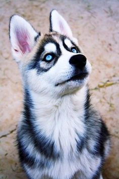 """Awesome """"Siberian husky dogs"""" information is offered on our web pages. Baby Huskies, Siberian Huskies, Siberian Husky Blue Eyes, Baby Animals, Funny Animals, Cute Animals, Beautiful Dogs, Animals Beautiful, Cute Puppies"""