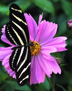 Zebra Longwing Butterfly by whisperbee