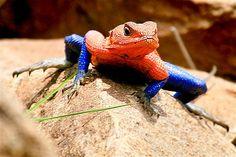 Mwanza Flat Headed Agama lizard