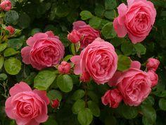 Rosas Leonardo Da Vinci