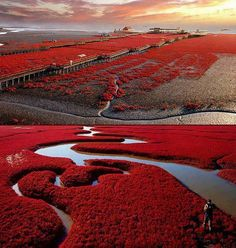 Panjin Red Beach, China    The Red Beach is located in the Liaohe River Delta, about 30 kilometer southwest of Panjin City in China. The beach gets its name from its appearance, which is caused by a type of sea weed that flourishes in the saline-alkali soil. The weed that start growing during April or May remains green during the summer. In autumn, this weed turns flaming red, and the beach looks as if it was covered by an infinite red carpet that creates a rare red sea landscape.