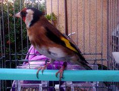 Chardonneret Top 😍 حسون في القمة https://www.youtube.com/+bilelseg https://www.facebook.com/ChardonneretBilelKios/ https://www.instagram.com/bilelkios/ #الحسون #المقنين #القرديل #Chardonnerert #Canari #Mulet #MuletOiseau #Oiseau #Birds #Animaux #Goldfinch #Jilguero #Cardellino #καρδερίνα #Sakakuşu #Chien #Chat #Pigeon #Cheval #Science #Reptile #Poisson #Plantes #Hibiscus #Alger #Algérie #Tunisie #Maroc #ChardonneretGolden #BilelKios