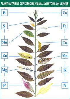 Plant nutrient deficiencies visual symptoms on leaves.