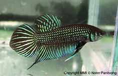 """A """"wild type"""", or naturally occurring Betta body type. This one i a beautiful shade of emerald green."""