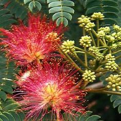 Mimosa Oil (absolute) , Find Complete Details about Mimosa Oil (absolute),Mimosa Oil,Pure Mimosa Essential Oil,Mimosa Absolute Oil from Essential Oil Supplier or Manufacturer-DBR EXPORTS INDIA Acacia, Small Trees For Garden, Albizia Julibrissin, Green Plants, Beautiful Flowers, Pure Products, Packing, Amp, Natural