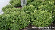 40 Small or Dwarf Evergreen Shrubs (With Pictures and Names) Dwarf Evergreen Shrubs, Evergreen Bush, Dwarf Shrubs, Bushes And Shrubs, Flowering Bushes, Small Shrubs, Shrubs For Landscaping, Garden Shrubs, Garden Plants