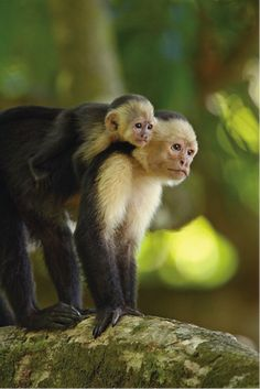 White-faced capuchin monkeys and howler monkeys are very popular in Costa Rica. It is not uncommon to be woken up to the howls of the howler monkeys. A great place to see these monkeys is Manuel Antonio. Primates, Mammals, Small Monkey, Pet Monkey, Animals And Pets, Baby Animals, Cute Animals, Animals Amazing, Animals Beautiful