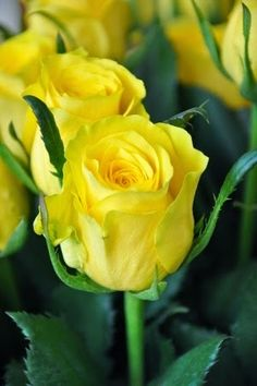 رائعة ،، رائعة ،، رائعة !!                             Long Stem Yellow Roses