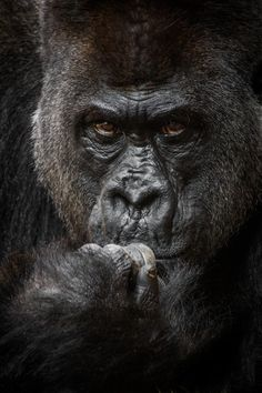 """""""Silverback Gorilla"""" by JSJPhotography - A Breathtaking Collection of Exotic Wildlife: Photo Contest Finalists Blog - ViewBug.com"""