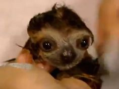 Heart burst: These are sloths taking a bath and hanging up to dry
