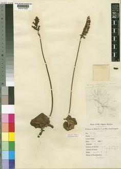 Holothrix elgonensis