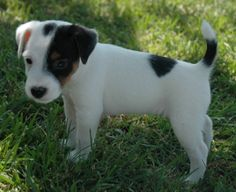 . Chien Jack Russel, Parson Jack Russell, Jack Russell Mix, Parson Russell Terrier, I Love Dogs, Cute Dogs, Doggies, Dogs And Puppies, Cute Dog Pictures