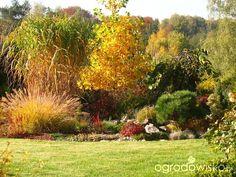 Miskant - Miscanthus - strona 9 - Forum ogrodnicze - Ogrodowisko