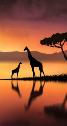 Photography Discover Giraffes at Sunset by Jenny Woodward Nature Sauvage African Sunset Art Drawings For Kids Silhouette Painting Cross Paintings Wildlife Art Nature Wallpaper African Art Cute Wallpapers African Animals, African Art, Animals Beautiful, Cute Animals, Giraffe Pictures, Shadow Painting, Photo Chat, Silhouette Art, Painting Art