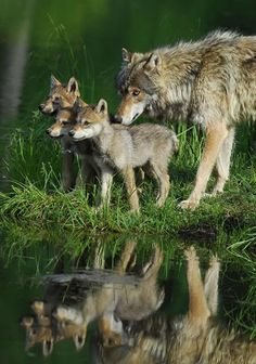 Great picture of a Wolf family at a lake!