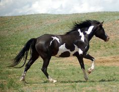 black overo - 50% Paint Horse, 25% Percheron, 25% Arabian gelding Stetson