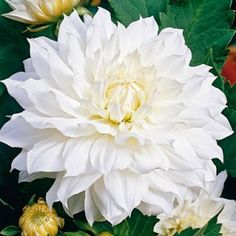 """and then there are dahlias...this one is said to be up to 8"""" across. More costly to grow than zinnias, but ooh la la"""