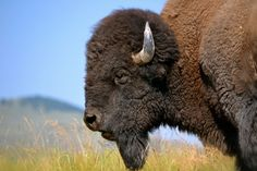 Montana has millions of acres of native prairie habitat, just waiting for bison to return! Head Shapes, Animal Games, Wildlife Conservation, Animal Wallpaper, Mountain Man, Endangered Species, Science And Nature, Beautiful Creatures, Mammals