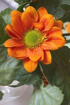 Bright Orange Chrysanthemums