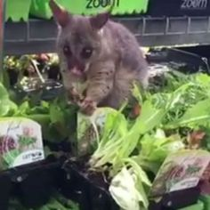 Forget the traditional sausage sizzle — a brazen possum is caught red-handed with enough greens to last a lifetime after busting into a Brisbane Bunnings nursery in broad daylight. Australian Animals, Plant Nursery, Abc News, Brisbane, Kangaroo, Cats, Lettuce, Creatures, Beautiful