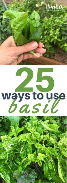 Use fresh basil in basil recipes like my nut-free pesto. Learn how to harvest basil and the health benefits of basil too. Use fresh basil in basil recipes like my nut-free pesto. Learn how to harvest basil and the health benefits of basil too. Fresh Basil Recipes, Herb Recipes, Vegan Recipes, Barbecue Recipes, Barbecue Sauce, Canning Recipes, Grilling Recipes, Italian Recipes, Growing Herbs