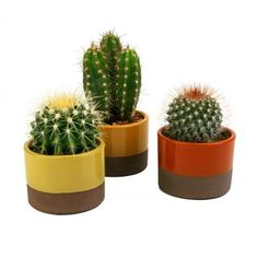 3.5 in. W x 3.5 in. D x 5 in. H Horizon Cactus Plant Assorted (3-Pack)-0881009 - The Home Depot [$23.96 / each]