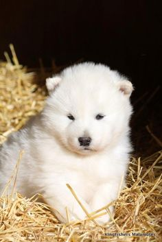 Adorable  chubby Alaskan malamute puppies are just too cute to handle   When you first see an Alaskan Malamute, it's easy to be impressed b...