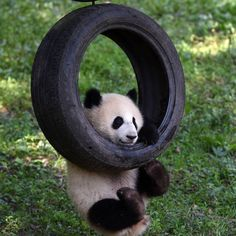 One of panda twins, either Yo Bao or Yu Bei